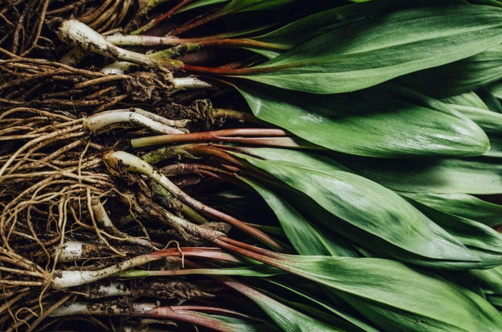 a bunch of wild ramps