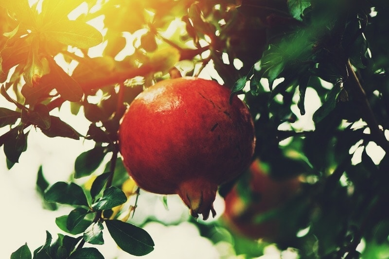 ripe pomegranate growing on tree