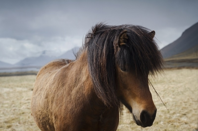 Close up of an Icelandic brown horse on a field
