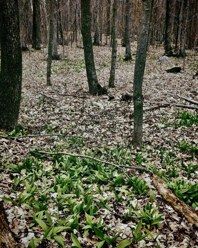 an ontario forest full of wild ramps