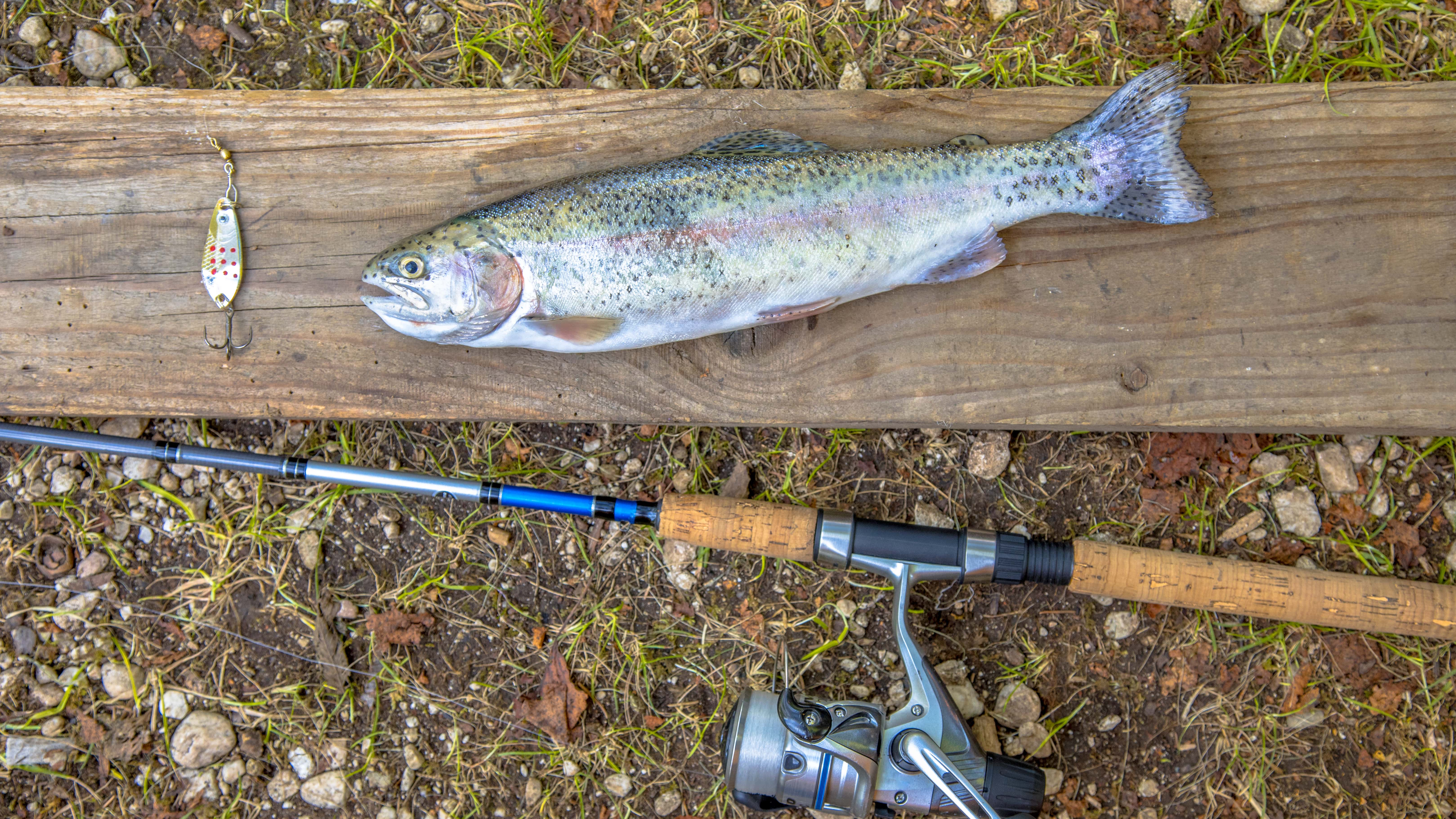 rainbow trout on a wooden board next to a fishing rod