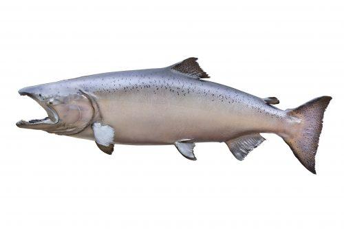 wild male salmon