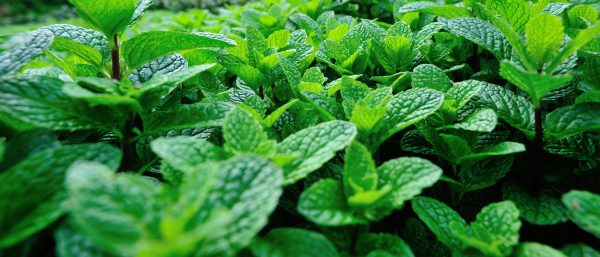 green mint plant growing