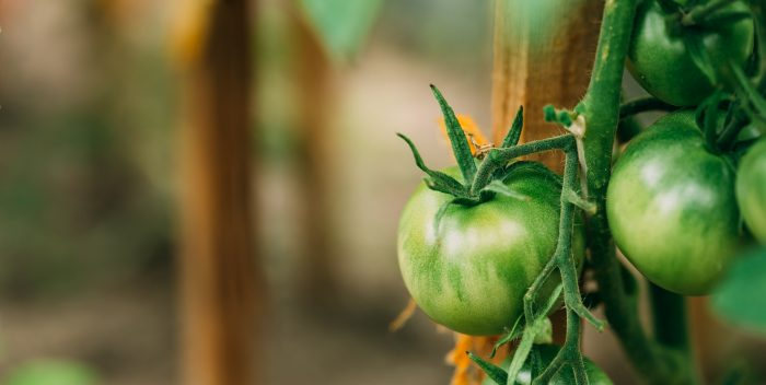 Green Growing Organic Tomato. Homegrown Tomatoes In Vegetable Garden.