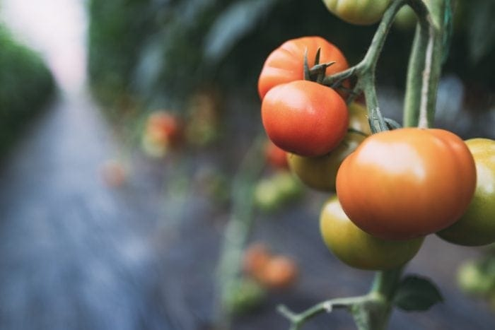 Beautiful red organic healthy tomatoes grown in a greenhouse