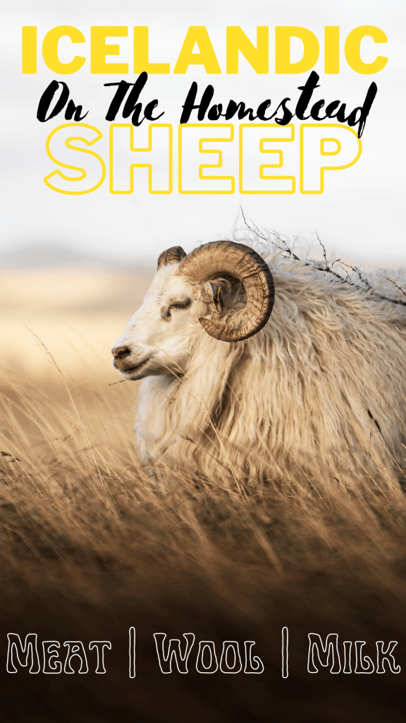 An Icelandic ewe standing in long grass