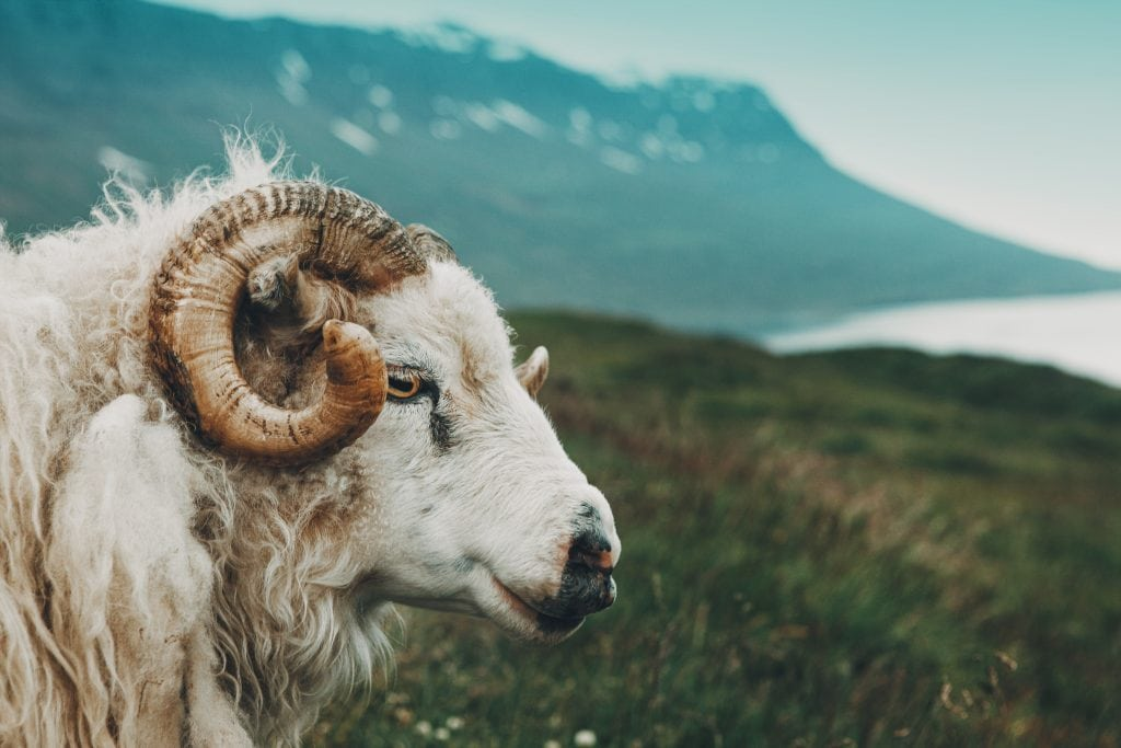 Icelandic sheep, a ram, in profile in the Icelandic wilderness