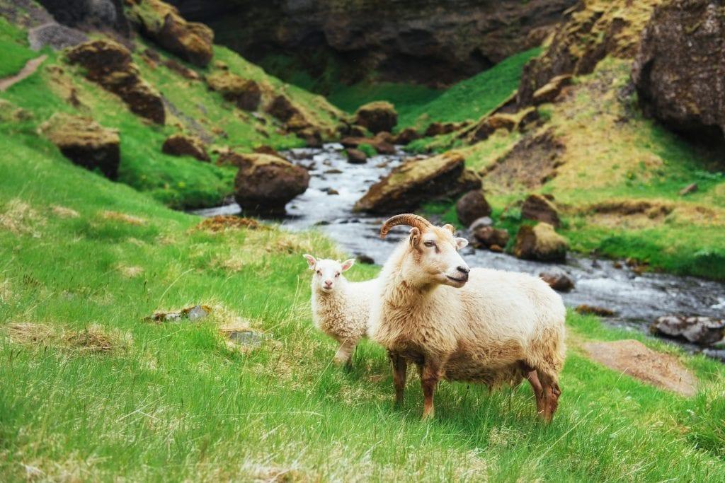 An Icelandic ewe and her lamb.