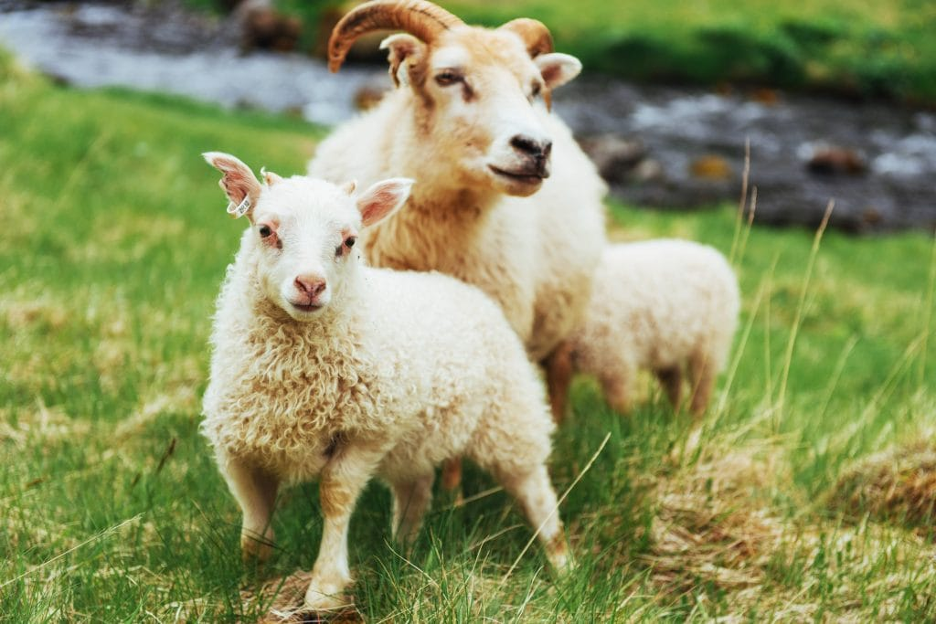 Icelandic ewe in meadow with her twin lambs.
