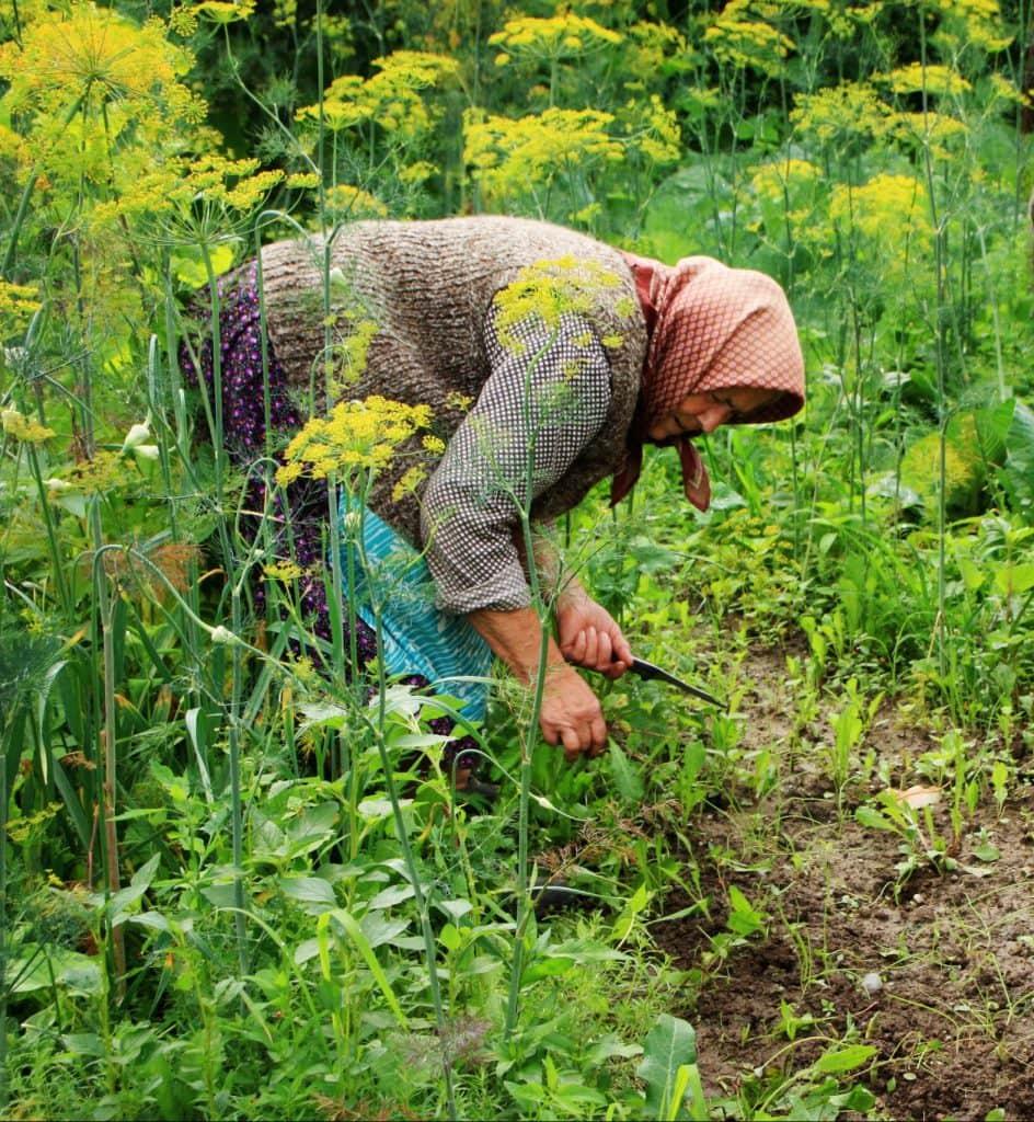 old peasant woman bending over in her garden